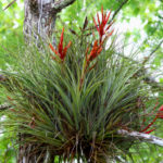 Tillandsia fasciculata - Cardinal Airplant