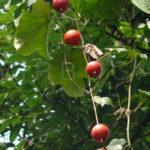 Trichosanthes tricuspidata - Bitter Snake Gourd