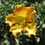 Tropaeolum incisum - Nasturtium