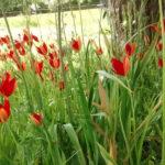 Tulipa sprengeri - Sprenger Tulip