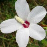 Abelmoschus ficulneus - White Wild Musk Mallow