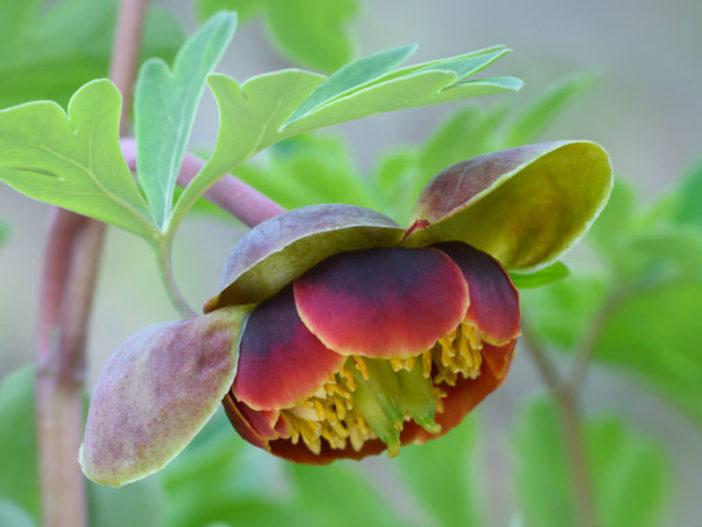 Paeonia brownii - Brown's Peony