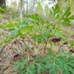 Paeonia brownii (Brown's Peony)