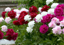How to Grow and Care for Peonies