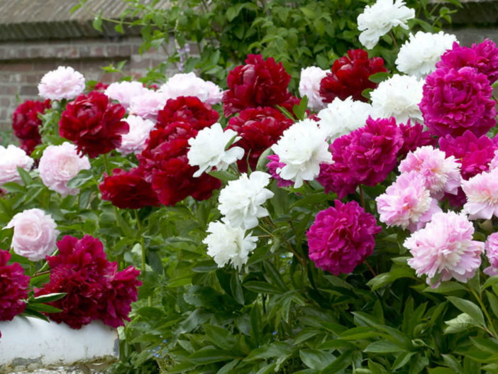 How To Grow And Care For Peonies World Of Flowering Plants