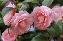 Propagate Camellias