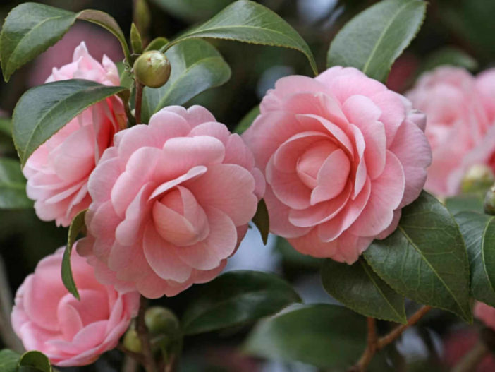 Propagate Camellias