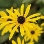 Rudbeckia fulgida var. deamii - Deam's Coneflower