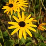 Rudbeckia fulgida var. sullivantii 'Goldsturm' - Golden Coneflower