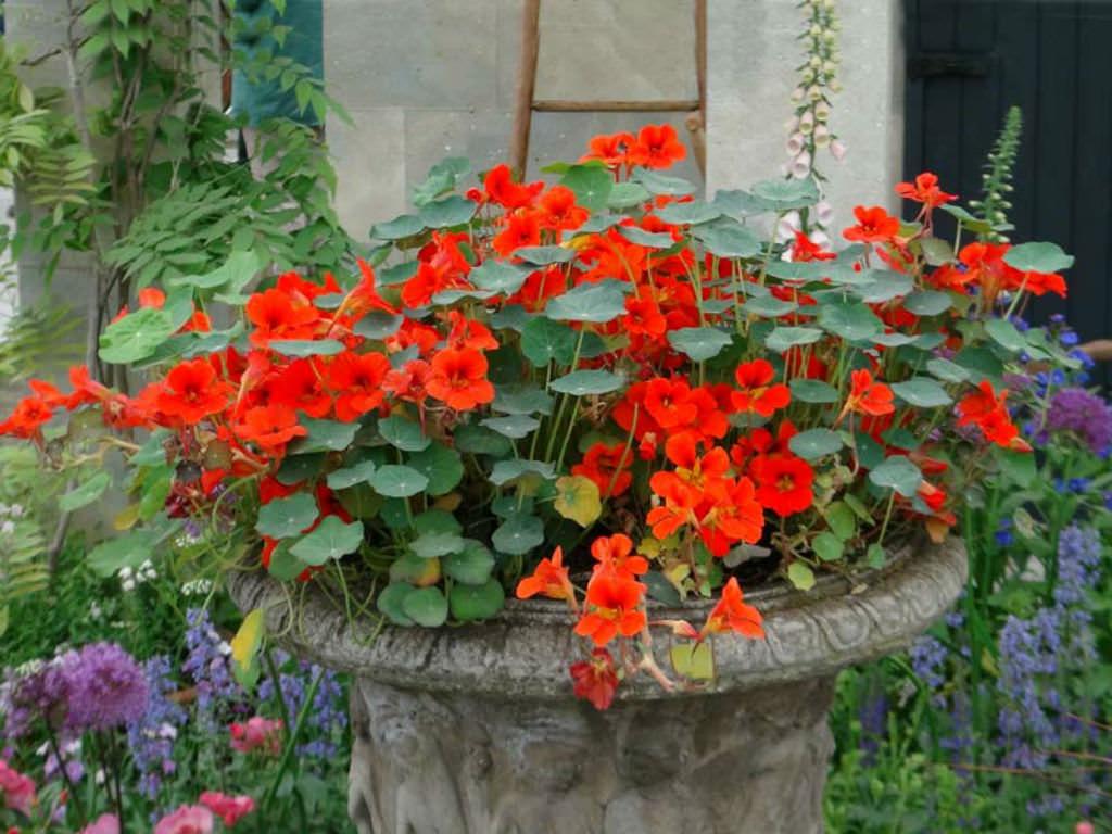 Garden Bush: Tropaeolum Majus (Garden Nasturtium)