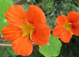 Tropaeolum majus – Garden Nasturtium