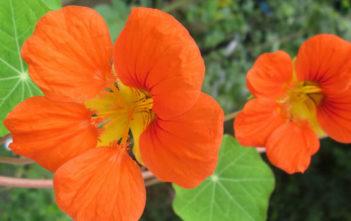 Tropaeolum majus - Garden Nasturtium