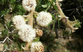Vachellia abyssinica - Flat Top Acacia