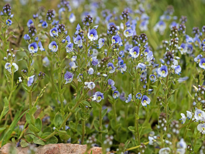 Veronica serpyllifolia - Thyme-leaved Speedwell