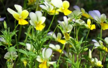 Viola arvensis - European Field Pansy