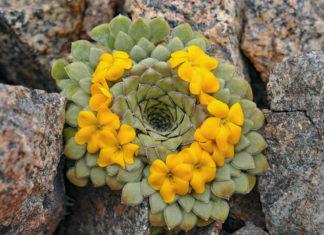 Viola coronifera