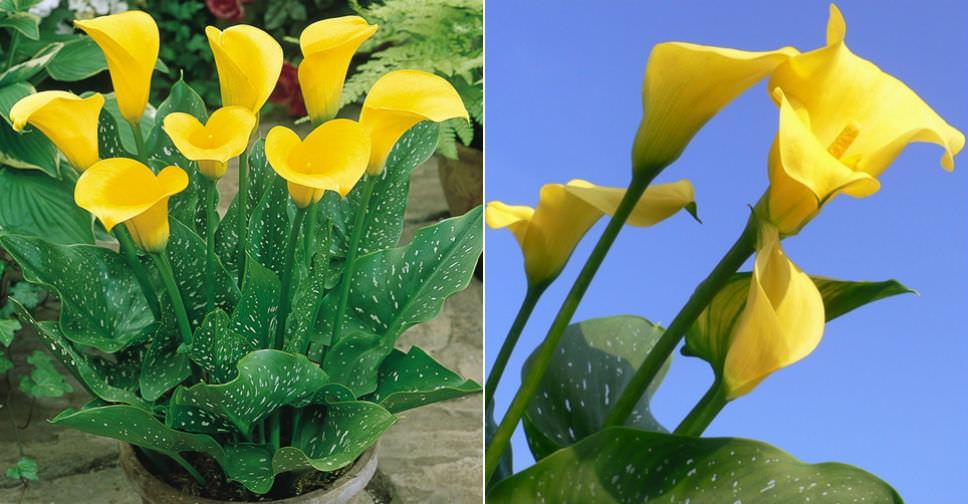 TÌNH YÊU CÂY CỎ ĐV.3 - Page 14 Zantedeschia-elliottiana-Golden-Calla-Lily