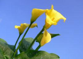 Zantedeschia elliottiana – Golden Calla Lily