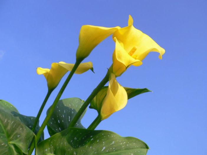 Zantedeschia elliottiana - Golden Calla Lily