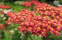 Achillea millefolium 'Red Beauty' - Red Beauty Yarrow