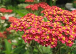 Achillea millefolium 'Red Beauty' – Red Beauty Yarrow