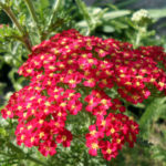 Achillea millefolium 'Red Beauty' - Red Beauty Yarrow