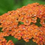 Achillea millefolium 'Terracotta' - Terracotta Yarrow