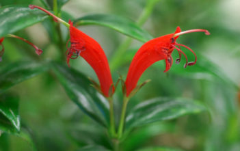 Aeschynanthus garrettii - Hardy Lipstick Plant