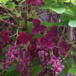 Akebia trifoliata - Three-leaf Akebia