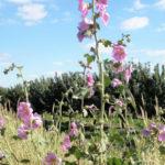 Alcea setosa - Bristly Hollyhock