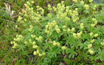 Alchemilla alpina - Alpine Lady's Mantle