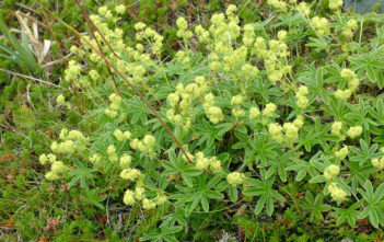 Alchemilla alpina - Alpine Lady's Mantle