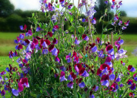 Lathyrus odoratus – Sweet Pea