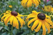 Rudbeckia fulgida 'Early Bird Gold' - Black-eyed Susan