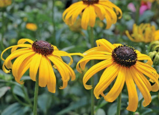 Rudbeckia fulgida 'Early Bird Gold' - Black-eyed Susan