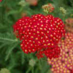 Achillea millefolium 'Paprika' (Paprika Yarrow)
