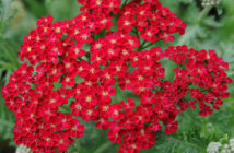 Achillea millefolium 'Red Velvet' (Red Velvet Yarrow)
