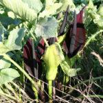 Arum palaestinum - Black Calla Lily