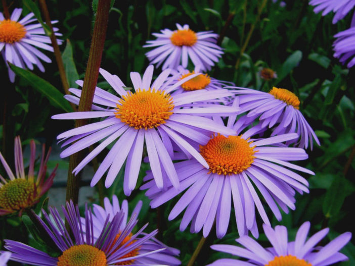 Aster tongolensis - East Indies Aster