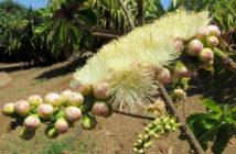 Barringtonia neocaledonica