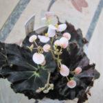 Begonia 'Black Mamba' (Black Mamba Begonia)