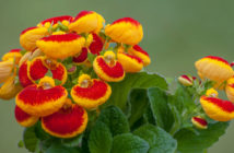 Calceolaria herbeohybrida (Lady's Purse)