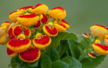 Calceolaria herbeohybrida (Lady's Purse)