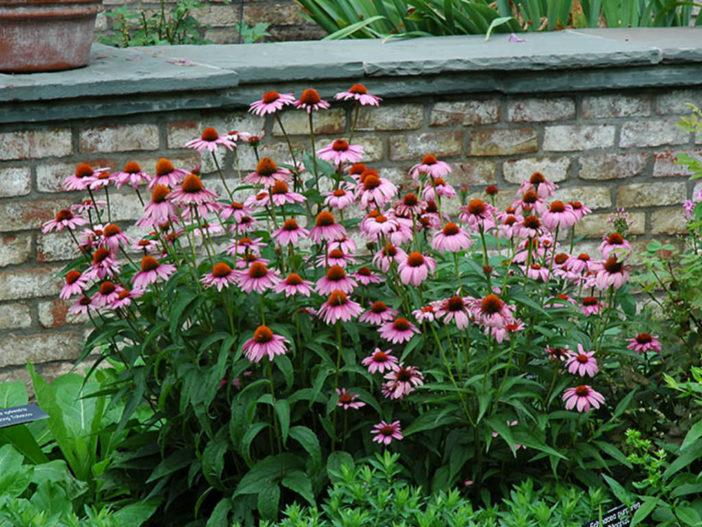 Echinacea purpurea 'Magnus' (Magnus Coneflower)