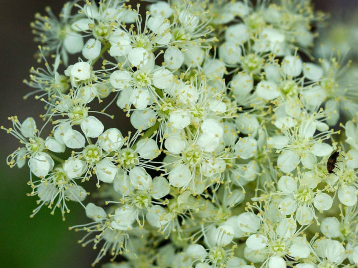 Herbs That Blossom Into Stunning Flowers (Filipendula ulmaria)