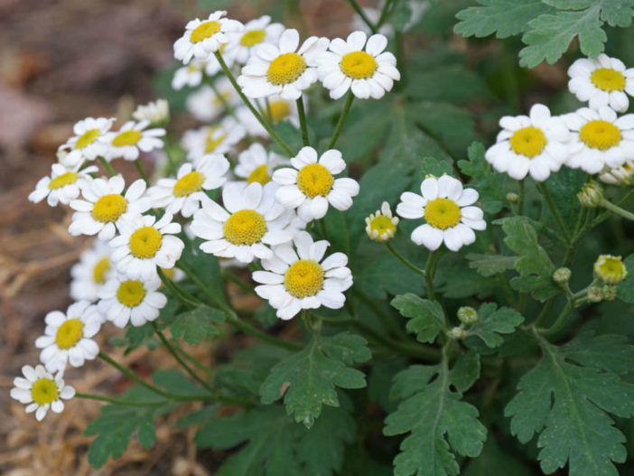 Herbs That Blossom Into Stunning Flowers (Tanacetum parthenium)