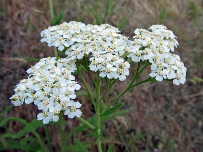 Herbs That Blossom Into Stunning Flowers (Achillea millefolium)
