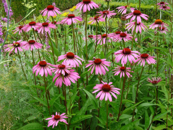 Herbs That Blossom Into Stunning Flowers (Echinacea purpurea)