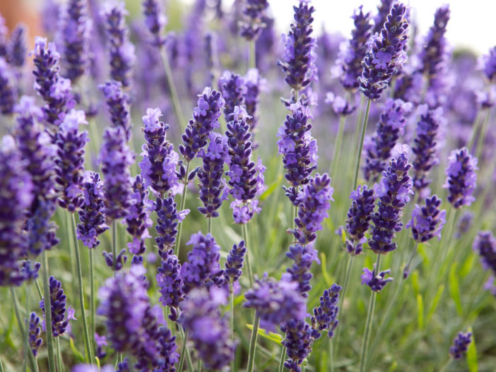 Herbs That Blossom Into Stunning Flowers (Lavandula angustifolia)
