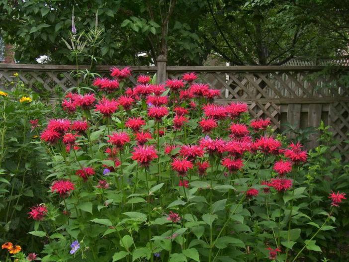 Herbs That Blossom Into Stunning Flowers (Monarda didyma)